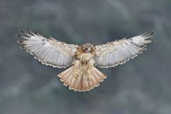 Flying bird of prey, Red-tailed hawk, Buteo jamaicensis, landing in the forest. Wildlife scene from nature. Animal in the habitat stock photo