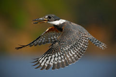 Flying bird Ringed Kingfisher above blue river with open bill, action scene in the river nature habitat, Brazil Pantanal Royalty Free Stock Photos