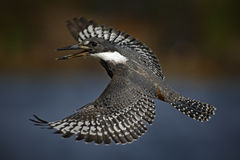 Flying bird Ringed Kingfisher above blue river with open bill in Brazil Pantanal Royalty Free Stock Photography
