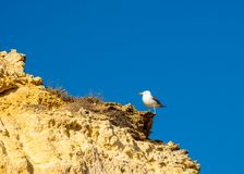 Flying bird sea , seagull. With open wings royalty free stock images