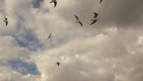 Flying bird seagull on a background of cloudy sunset sky. Slow motion, Full HD video, 240fps, 1080p. Panoramic view of a flying seagulls on a background of stock video footage