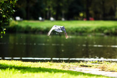 Flying bird Seagull, sunlight and beautiful park on the background royalty free stock photos