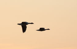 Flying Bird Silhouettes. Against the sky Royalty Free Stock Photos