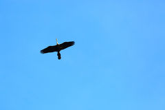 Flying bird. On the sky in Nakhonsawan province of Thailand Royalty Free Stock Photos