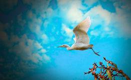 Flying bird. A bird in sky . the bird is ready to fly like go to her mission Royalty Free Stock Photography