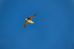 Flying bird from underneath crystal blue sky Royalty Free Stock Photos