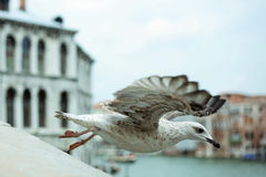 Flying bird in venice. A bird is taking off Stock Images