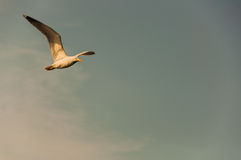 Flying A Bird. A bird watching while flying on sky Royalty Free Stock Image