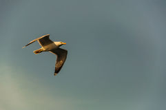Flying A Bird. A bird watching while flying on sky Royalty Free Stock Photos