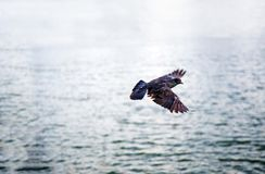 Flying bird on water sea with relax nature. royalty free stock photo