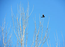 Flying bird and white branches with sunshine and blue sky Stock Photography
