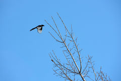 Flying bird and white branches with sunshine and blue sky Royalty Free Stock Photography
