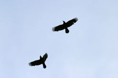 Flying birds. Two birds flying over blue sky Stock Photography