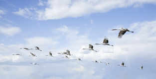 Flying birds. Under clear sky Stock Photos