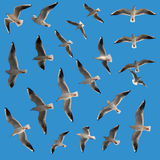 Flying Birds. Set of flying gulls. They are isolated on pure blue background for easy cut out. There are 21 birds visible in the set. The photo is taken in Royalty Free Stock Image