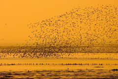 Flying Birds. In alignment, in formation, at sunset stock photo