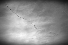 Flying birds. Black and white image of flying birds Stock Photography