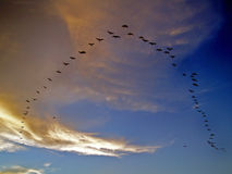 Flying Birds. In alignment, in formation, at sunset Royalty Free Stock Photography