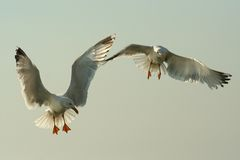 Flying birds. Two beautiful seagull spreading their wings in the air Stock Image