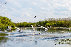 Flying birds and aquatic plants in Danube Delta Royalty Free Stock Photography