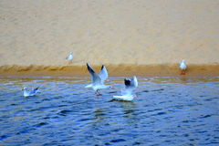 Flying birds beach. Flying birds over beach  Bulgaria,Hadjiiska river Royalty Free Stock Images