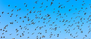 Flying birds. Big flock of flying birds with blue sky Stock Image