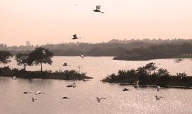 Flying birds in the bird Sanctuary. Flying birds in the vaduvoor Bird Sanctuary landscape-tamilnadu,india Royalty Free Stock Image