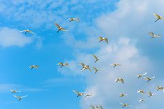 Flying birds on blue sky with clouds. Stock Photography