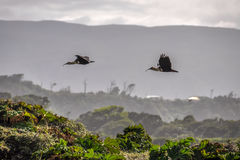 Flying birds, Chiloe Island, Chile Royalty Free Stock Images