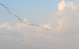 Flying birds in in the cloudy sky. Flying birds in a row in the soft white clouds in the blue sky, giving beauty to the scene Royalty Free Stock Photography