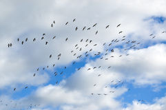 Flying birds flock Royalty Free Stock Images