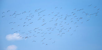Flying flock of mallards in the sky. Wild ducks during autumn migration. Royalty Free Stock Photo