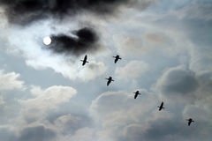 Flying birds in front of the moon. Formation flying birds on a cloudy evening-sky in front of the moon Stock Photo