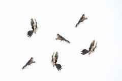 Flying birds isolated on white background. Stock Photo