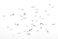 Flying birds, Isolated on white background. Group of birds fly, Isolated on white background Stock Photo