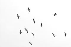 Flying birds, Isolated on white background Stock Photography