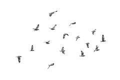 Flying birds, Isolated on white background Royalty Free Stock Photo
