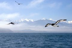 Flying birds over the ocean. Taken from from a boat in Kaikoura Royalty Free Stock Photo