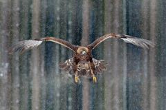 Flying birds of prey golden eagle with large wingspan, photo with snow flake during winter, dark forest in background. Wildlife sc royalty free stock photography