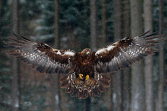 Flying birds of prey. Golden eagle with large wingspan, photo with snow flake during winter, dark forest in background, Sweden Stock Photos