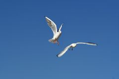 Flying birds / seagulls Stock Image