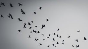 Flying birds silhouette. In black and white Royalty Free Stock Image