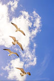 Flying birds. Small group of seagulls against a background of blue sky and small clouds Stock Image