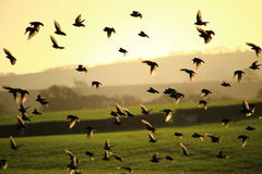 Flying Birds. With the sun behind Royalty Free Stock Image