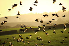 Flying Birds Royalty Free Stock Image