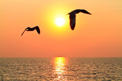 Flying birds with sunset. Seagull flying on the sky with sunset Royalty Free Stock Photo