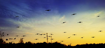 Flying birds in sunset. Flock of birds flying in the evening just after sunset Royalty Free Stock Photo