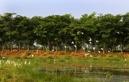 Flying birds with tree row  in the bird Sanctuary. Flying birds with tree row in the vaduvoor Bird Sanctuary landscape-tamilnadu,india Stock Photo