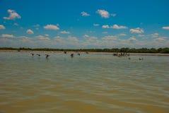 Flying birds and White pelicans. Rio Lagartos, Mexico. Yucatan. Flying birds and White pelicans in the nature reserve of Rio Lagartos, Mexico. Yucatan Royalty Free Stock Photo