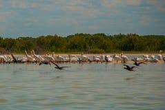 Flying birds and White pelicans. Rio Lagartos, Mexico. Yucatan. Flying birds and White pelicans in the nature reserve of Rio Lagartos, Mexico. Yucatan Royalty Free Stock Image